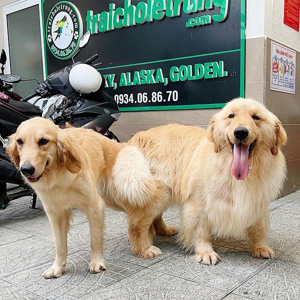 Top 7 địa chỉ bán chó Golden & Samoyed uy tín nhất TP.HCM