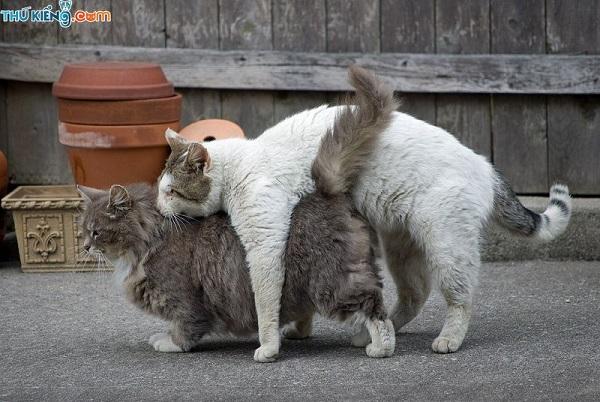 Top 7 địa chỉ phối giống mèo uy tín nhất tại TP.HCM